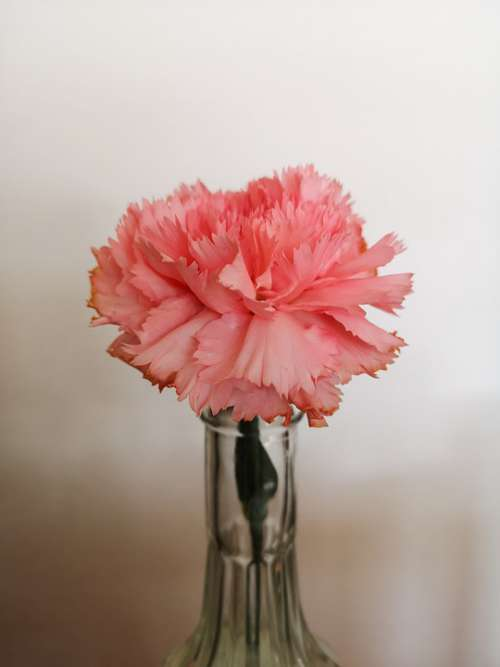 Flower Carnation Spring Pink Vase Flower Vase