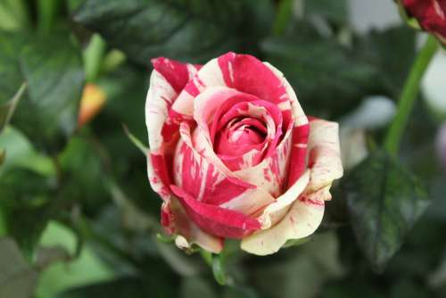 Flower Red Rosa Rose Wild