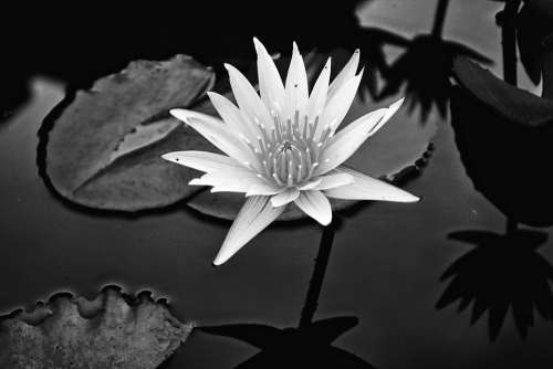 Flower Lily Water Lily Water Blooming Flores
