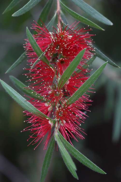 Flower Red Bloom Flowers Nature Plant Spring