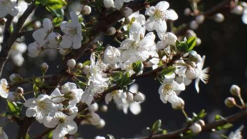 Flower Flowers Plum Blossom Springtime Spring