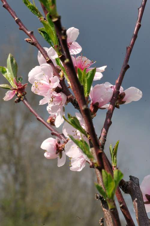 Flowers Orchard Cherry Tree Spring Plants Pink