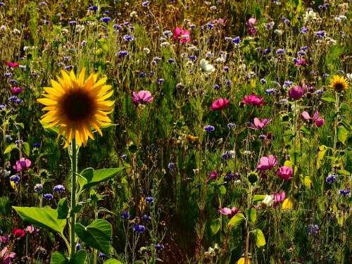 Flowers Meadow Sunflower Flower Meadow Field Flora