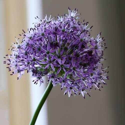 Flowers Flower Bloom Garden Flora Spring Purple
