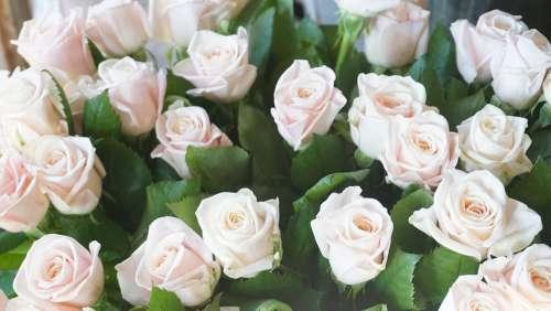 Flowers Flower Rose Plants Petal Romance