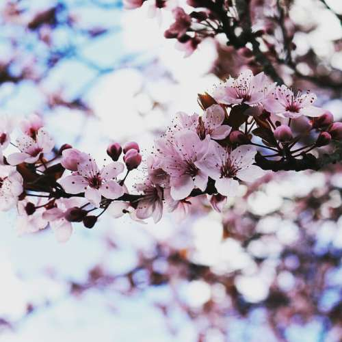 Flowers Cherry Blossoms Pink Nature Spring