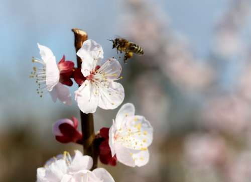 Flowers Bee White Casey Tree Spring Nature