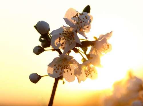 Flowers White Light Sun Casey Tree Spring Nature
