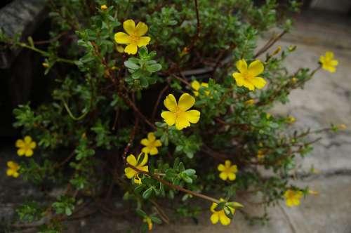 Flowers Yellow Beautiful Portulaca Grandiflora