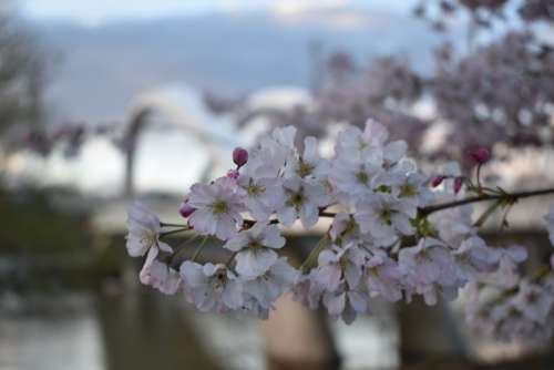 Flowers Bridge Lyon Raymond Barre