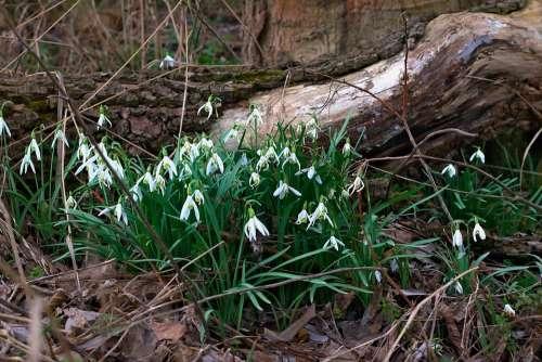 Forest Spring Snowdrop Natural Flower