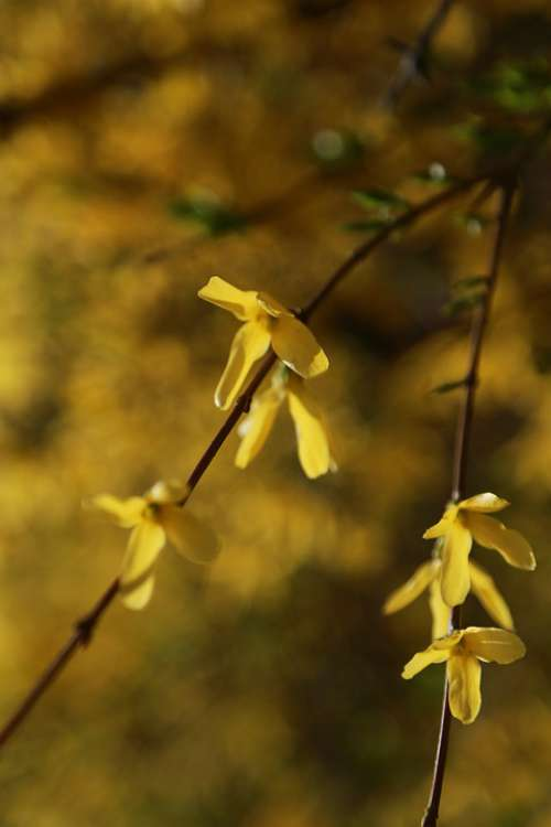 Forsythia Flowers Spring Yellow Spring Flowers