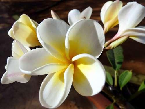 Frangipani Flower Plumeria Doik-Champa Yellow