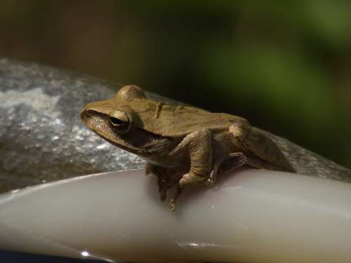 Frog Amphibian Animal Nature