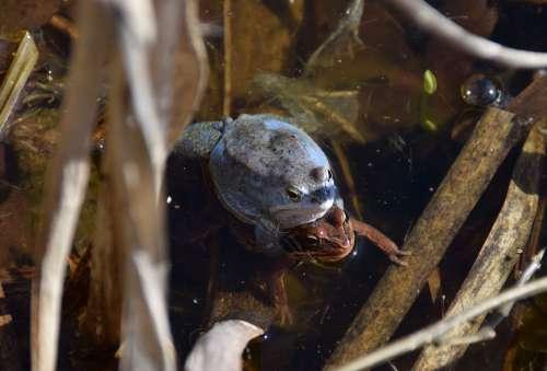 Frogs Rana Arvalis Blue Male Amphibian