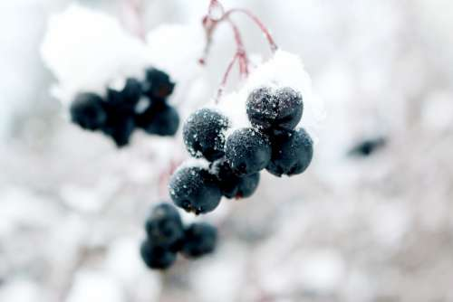 Frozen Grapes Winter Snow Crystal Snow Crystal