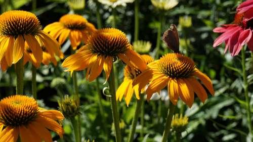 Garden Flowers Coneflower