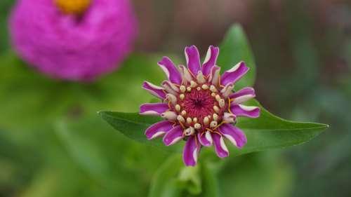Garden Flowers Macro Zinnias