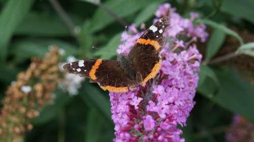 Garden Flowers Buddleja Butterfly