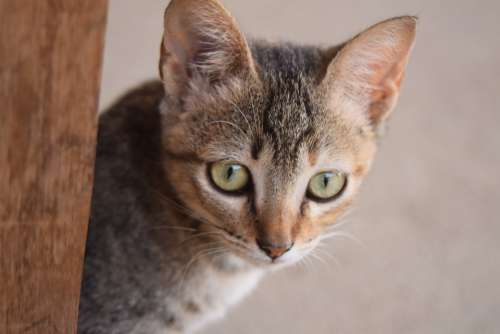 Gata Domestic Animals Cat Animal Pet Kitten