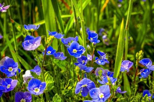 Germander Speedwell Wild Plant Grassland Plants
