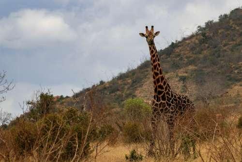 Giraffe Africa Kenya Safari Animal World Nature