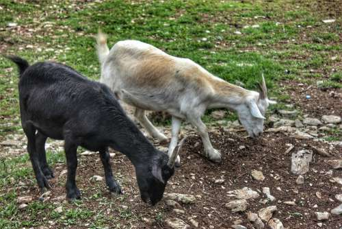 Goat Animal Horn Mammal Farm Chan