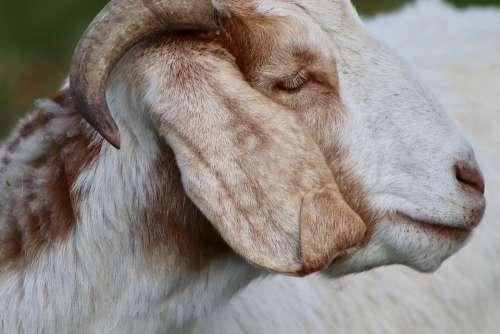 Goat Livestock Pet Domestic Goat Horn Goat Face
