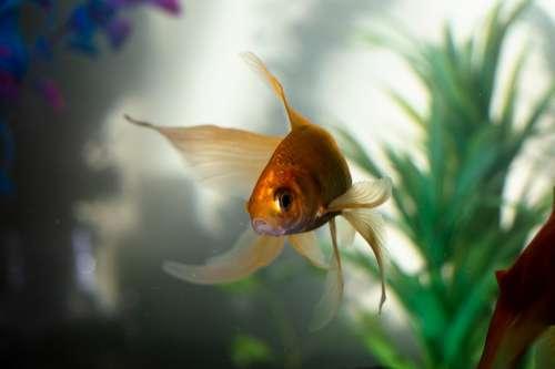 Gold Fan Tail Fish Fishing Underwater Water Sea