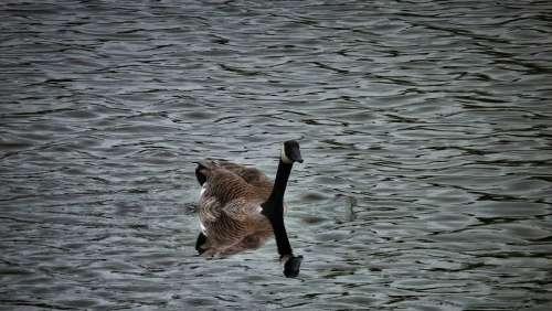 Goose Geese Gaggle Waterfowl Birds Park Lake