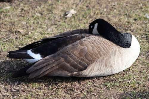 Goose Water Bird Wild Goose Canada Goose Sleep