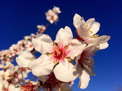Gran Canaria Flowers Nature Tejeda Almond Flowers