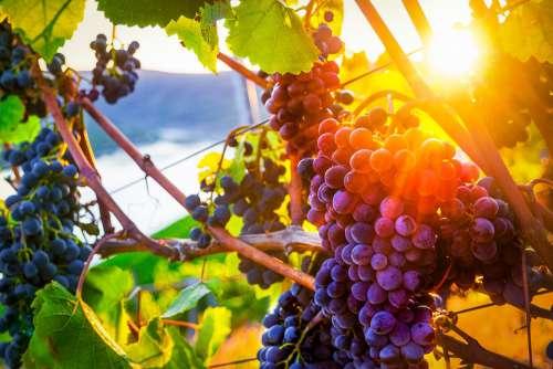 Grapes Autumn Rhine Sunset Middle Rhine