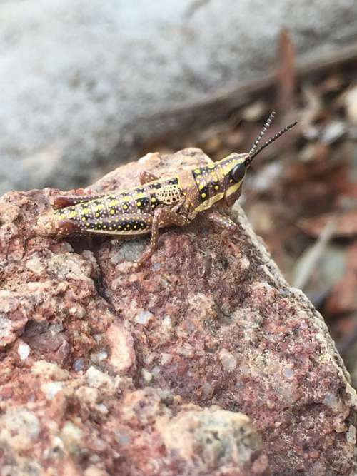 Grasshopper Rock Camouflage Nature Insect Locust