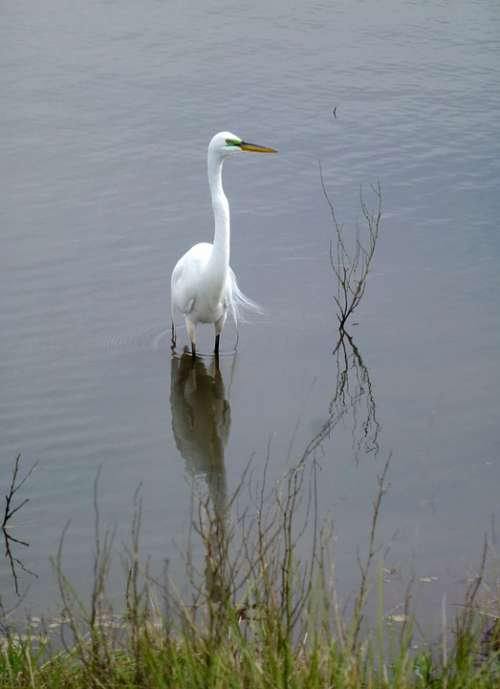 Great Egret Bird White Feathers Plumage Marsh