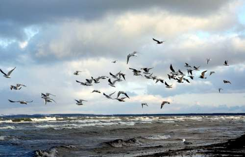 Gulls Swarm Beach Sea Clouds Baltic Sea Wind