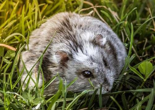 Hamster Rodent Mammal Gray Wild Grass Fur