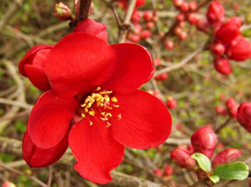 Hedge Red Blossom Bloom Macro Flower Nature