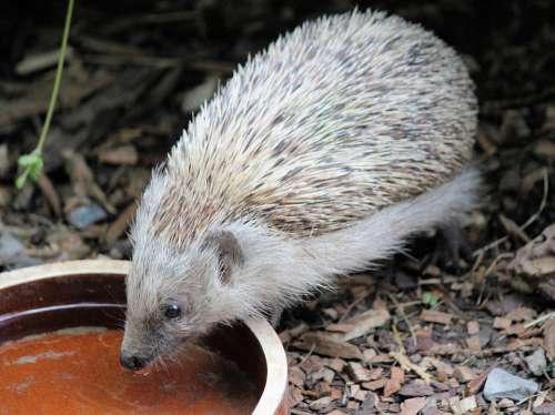 Hedgehog Quills Animal Insectivore Mammal Drink