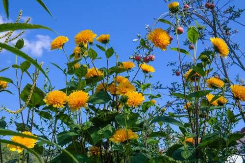 Helianthus Perennial Sunflower Blossom Bloom Flower
