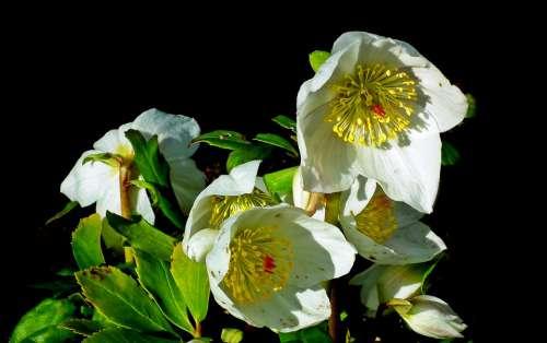 Hellebore Flowers White Garden The Petals Spring
