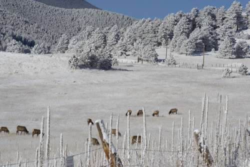 Hoarfrost Elk Herd Colorado Winter Landscape Trees
