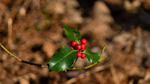 Holly Evergreen Green Berries Tree Xmas Bush