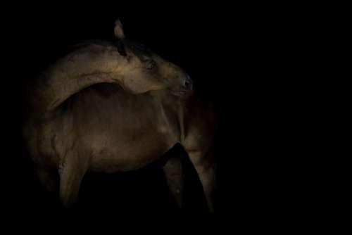 Horse Horseback Riding Animal Equine Head Mane
