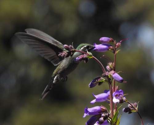 Hummingbird Ave Spring Purple Nature Violet