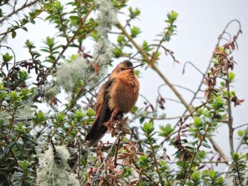 Hummingbird Wings Colors Cold Nevado Del Ruiz