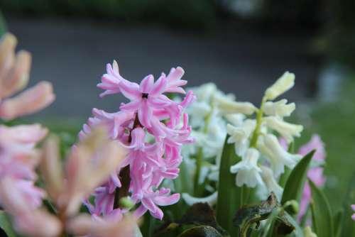 Hyacinth Wild Hyacinth Spring Flowers Nature
