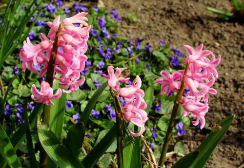 Hyacinth Flower Spring Garden Spring Flowers Spring