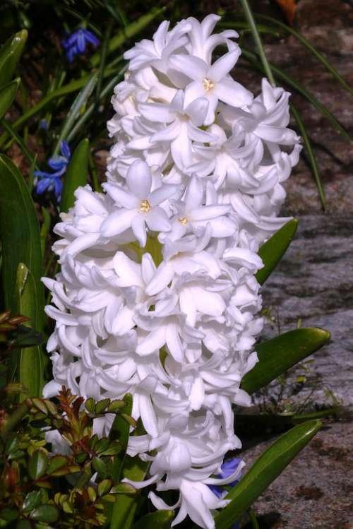 Hyacinth Flower White Spring Flower Plant Garden
