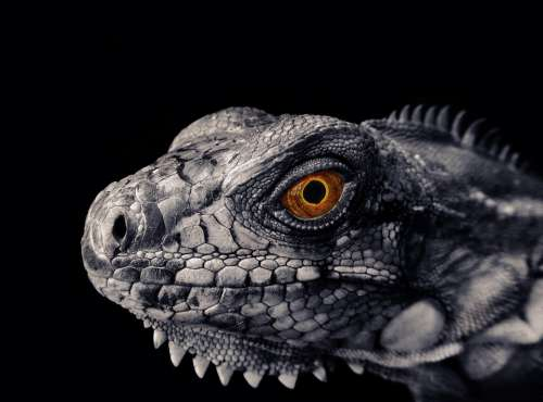 Iguana Reptile Scales Scaly Skin Animal Chameleon